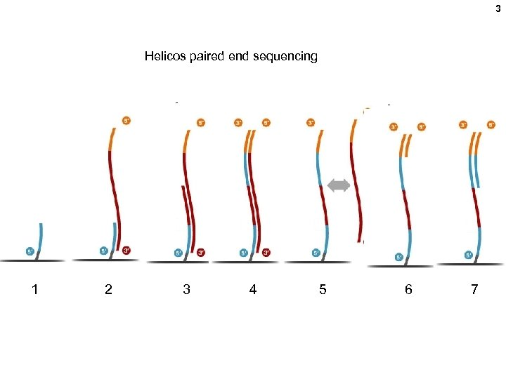 3 Helicos paired end sequencing 1 2 3 4 5 6 7
