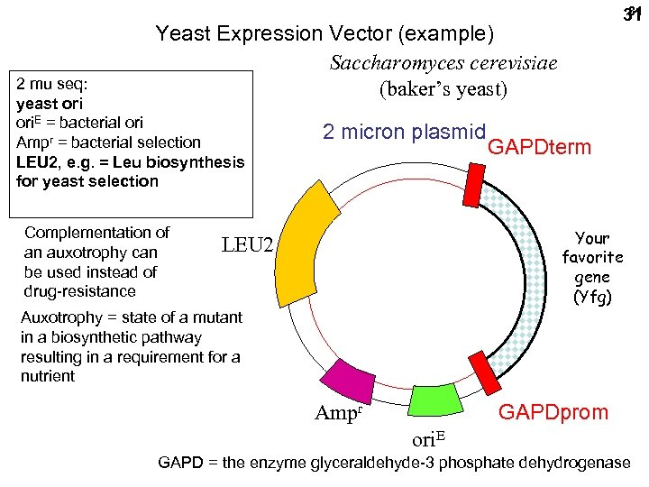 31 31 Yeast Expression Vector (example) Saccharomyces cerevisiae (baker's yeast) 2 mu seq: yeast