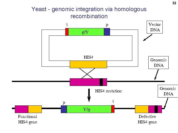 32 Yeast - genomic integration via homologous recombination t Vector DNA p gf. Y