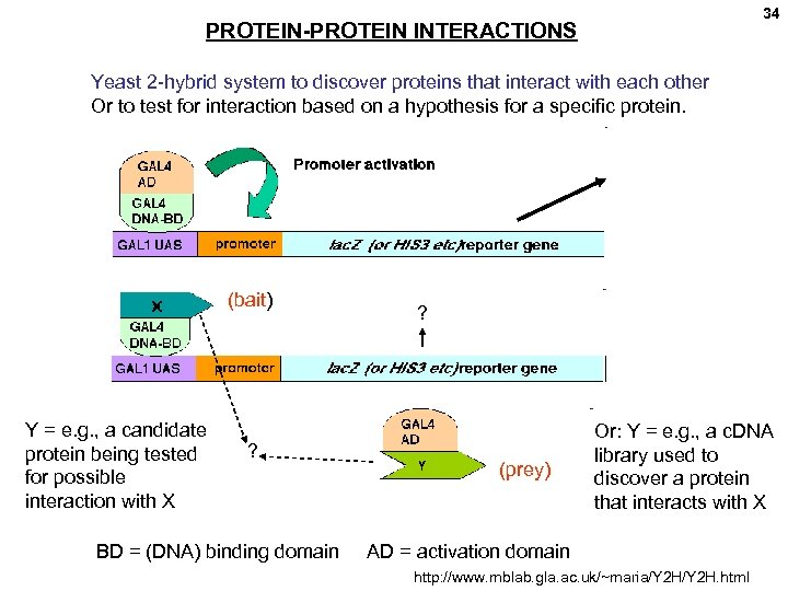 34 PROTEIN-PROTEIN INTERACTIONS Yeast 2 -hybrid system to discover proteins that interact with each