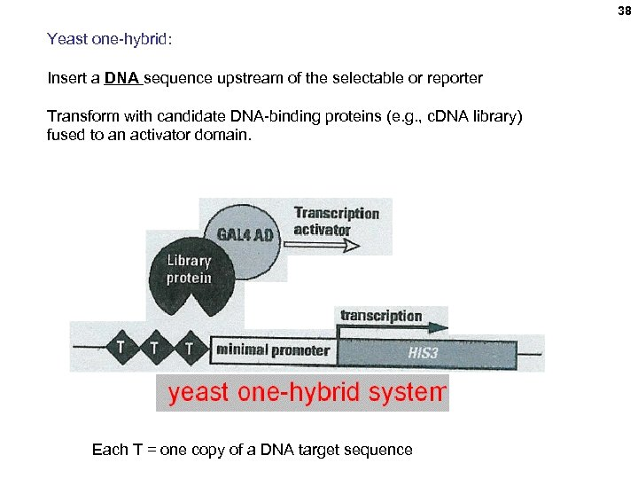 38 Yeast one-hybrid: Insert a DNA sequence upstream of the selectable or reporter Transform