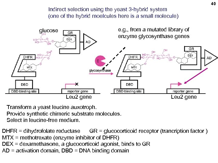40 Indirect selection using the yeast 3 -hybrid system (one of the hybrid moelcules
