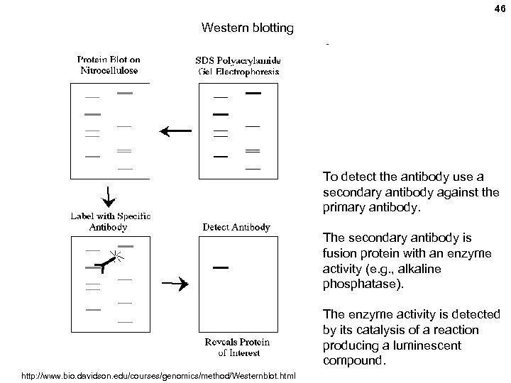 46 Western blotting To detect the antibody use a secondary antibody against the primary