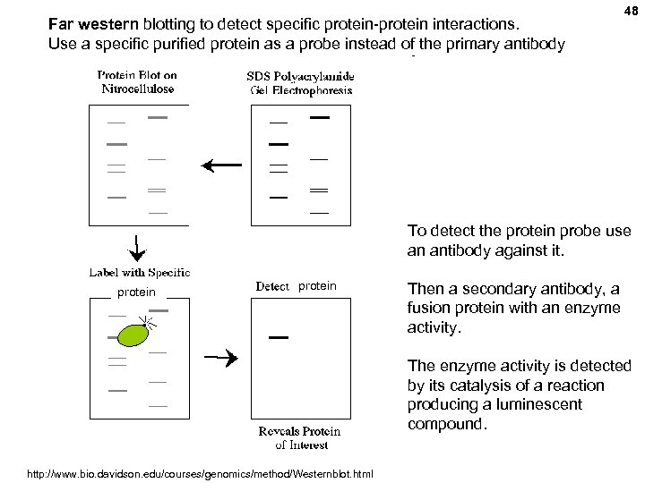 Far western blotting to detect specific protein-protein interactions. Use a specific purified protein as