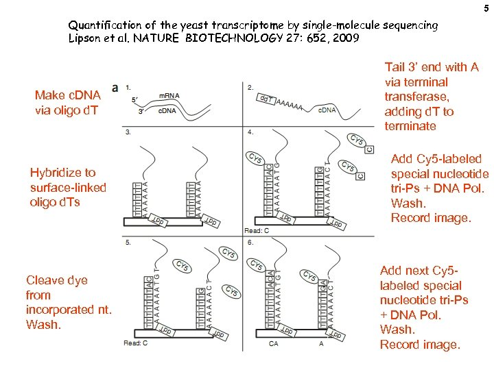 5 Quantification of the yeast transcriptome by single-molecule sequencing Lipson et al. NATURE BIOTECHNOLOGY