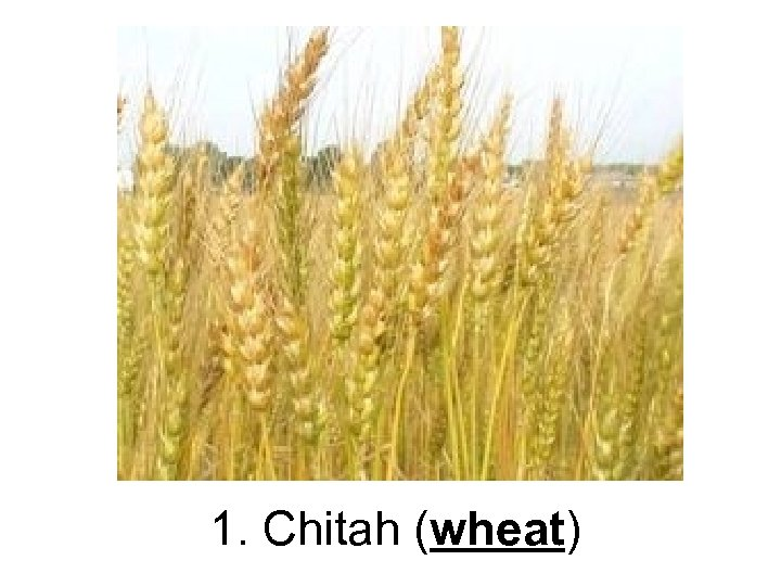 1. Chitah (wheat)