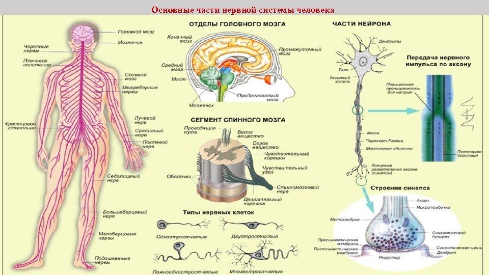 Основные части нервной системы человека