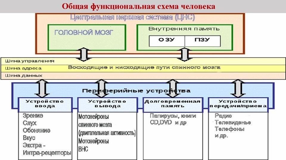 Общая функциональная схема человека
