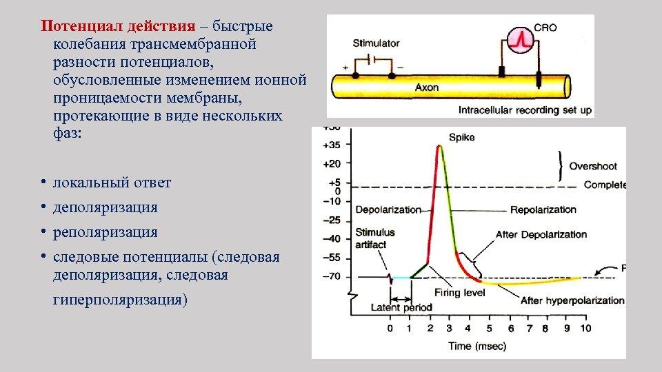 Потенциал действия – быстрые колебания трансмембранной разности потенциалов, обусловленные изменением ионной проницаемости мембраны, протекающие