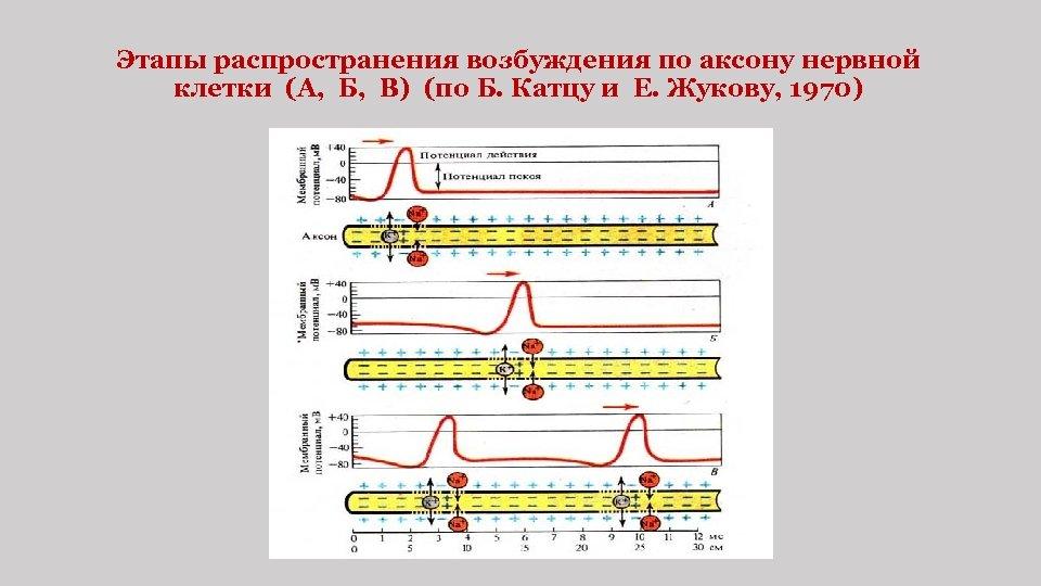 Этапы распространения возбуждения по аксону нервной клетки (А, Б, В) (по Б. Катцу и