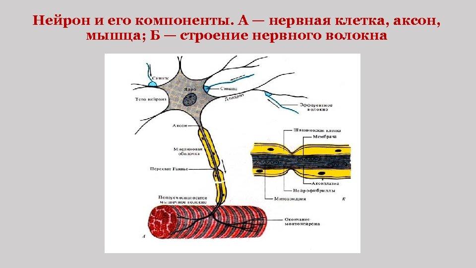 Нейрон и его компоненты. А — нервная клетка, аксон, мышца; Б — строение нервного