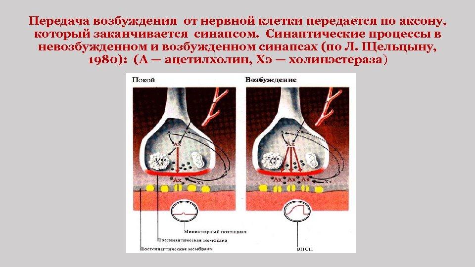 Передача возбуждения от нервной клетки передается по аксону, который заканчивается синапсом. Синаптические процессы в