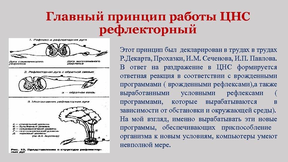 Главный принцип работы ЦНС рефлекторный Этот принцип был декларирован в трудах Р. Декарта, Прохазки,