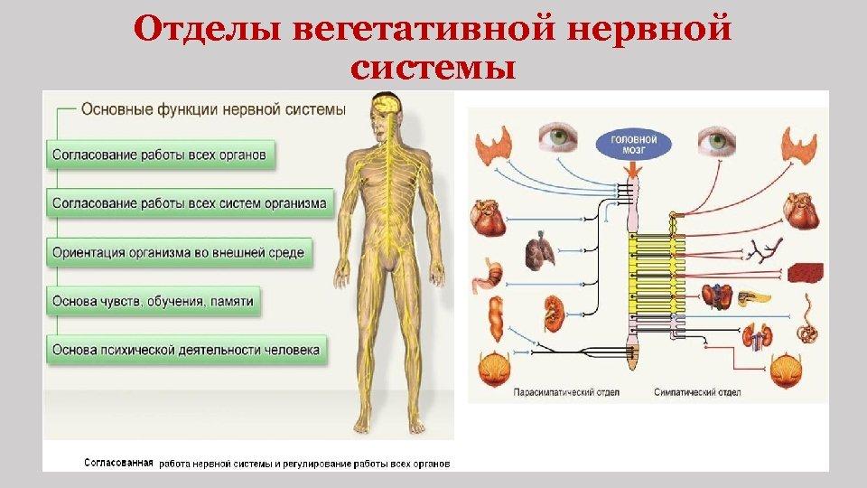 Отделы вегетативной нервной системы