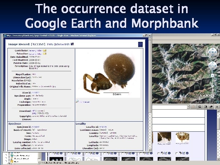 The occurrence dataset in Google Earth and Morphbank