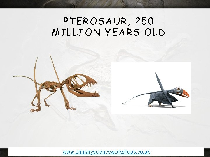PTEROSAUR, 250 MILLION YEARS OLD www. primaryscienceworkshops. co. uk