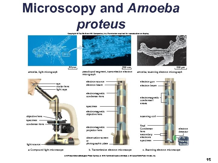 Microscopy and Amoeba proteus Copyright © The Mc. Graw-Hill Companies, Inc. Permission required for