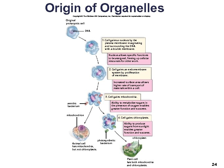 Origin of Organelles Copyright © The Mc. Graw-Hill Companies, Inc. Permission required for reproduction