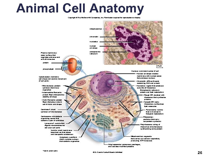 Animal Cell Anatomy Copyright © The Mc. Graw-Hill Companies, Inc. Permission required for reproduction