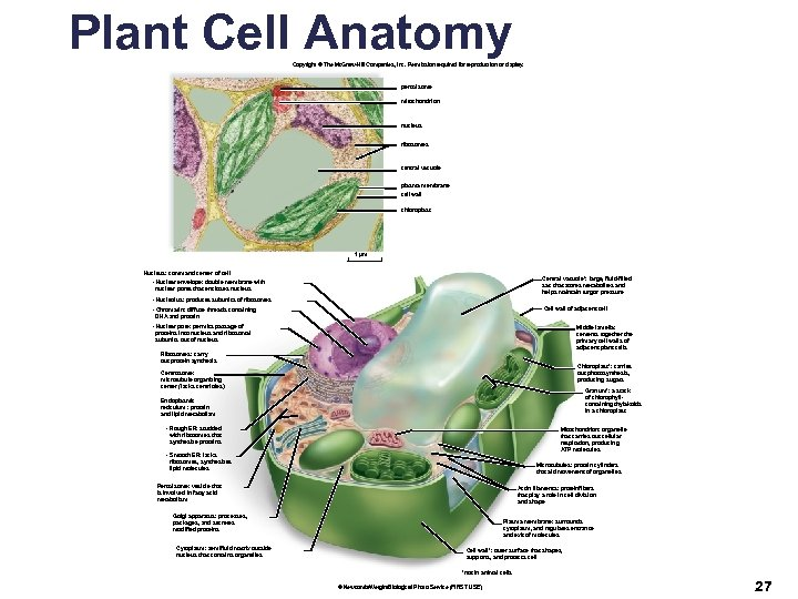 Plant Cell Anatomy Copyright © The Mc. Graw-Hill Companies, Inc. Permission required for reproduction