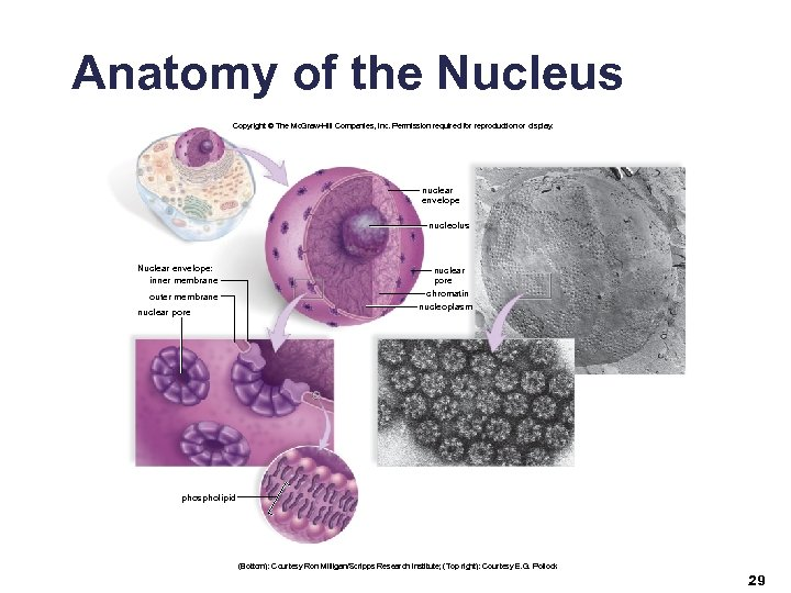 Anatomy of the Nucleus Copyright © The Mc. Graw-Hill Companies, Inc. Permission required for