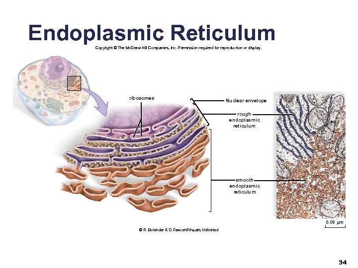 Endoplasmic Reticulum Copyright © The Mc. Graw-Hill Companies, Inc. Permission required for reproduction or