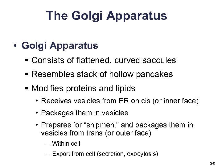 The Golgi Apparatus • Golgi Apparatus § Consists of flattened, curved saccules § Resembles