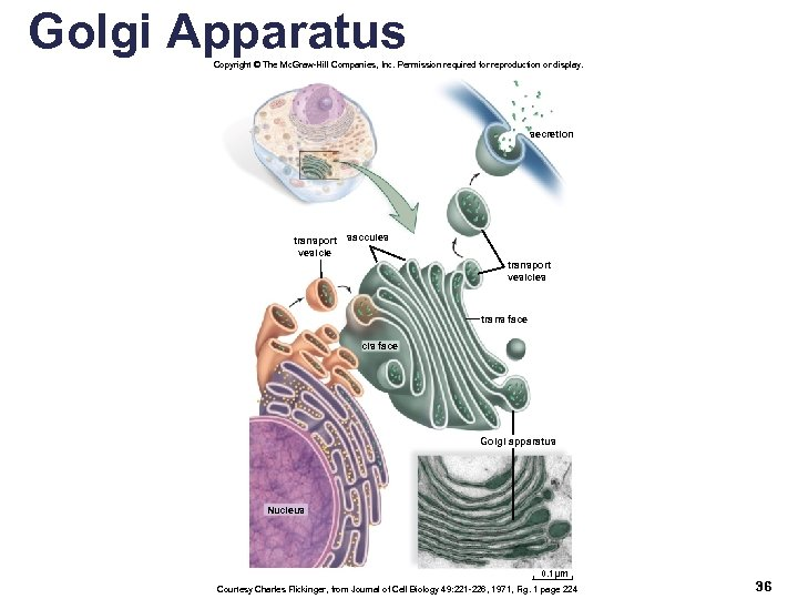 Golgi Apparatus Copyright © The Mc. Graw-Hill Companies, Inc. Permission required for reproduction or