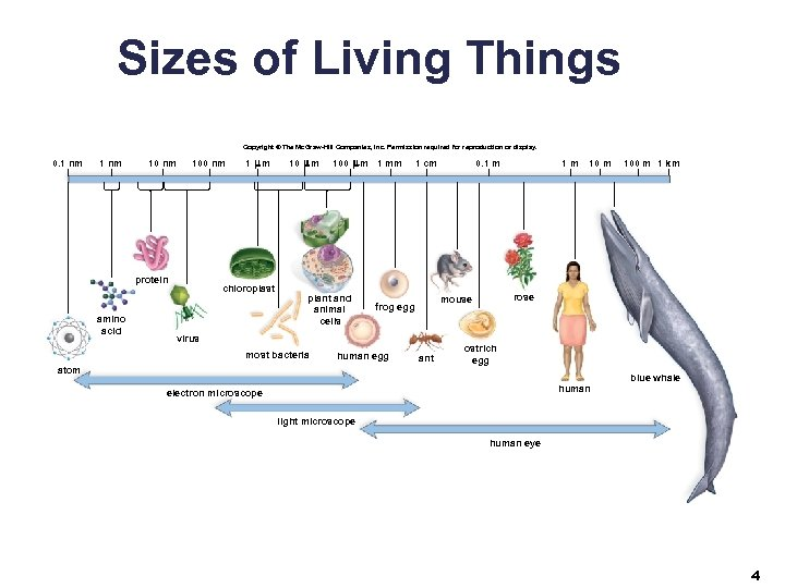 Sizes of Living Things Copyright © The Mc. Graw-Hill Companies, Inc. Permission required for