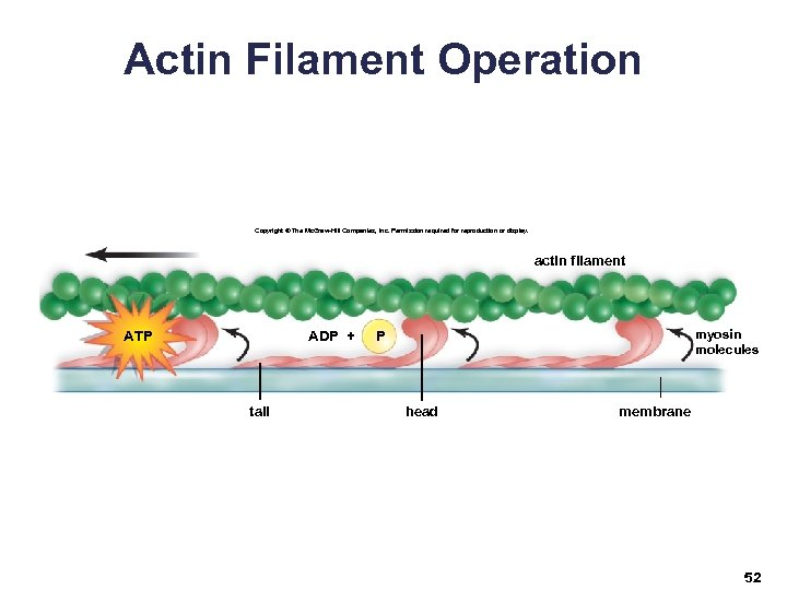 Actin Filament Operation Copyright © The Mc. Graw-Hill Companies, Inc. Permission required for reproduction