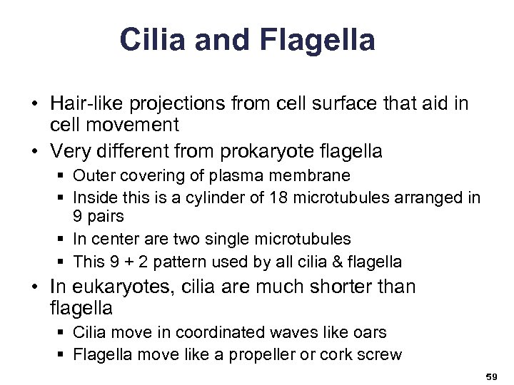 Cilia and Flagella • Hair-like projections from cell surface that aid in cell movement