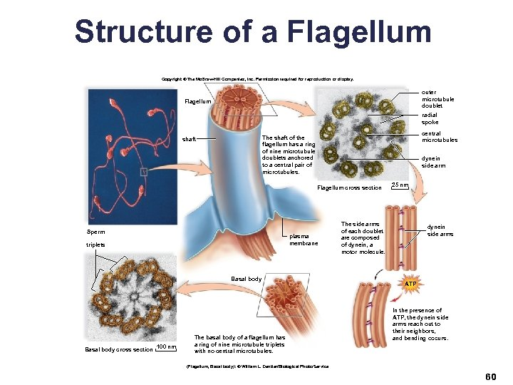Structure of a Flagellum Copyright © The Mc. Graw-Hill Companies, Inc. Permission required for