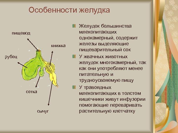 Особенности желудка пищевод книжка рубец сетка сычуг Желудок большинства млекопитающих однокамерный, содержит железы выделяющие