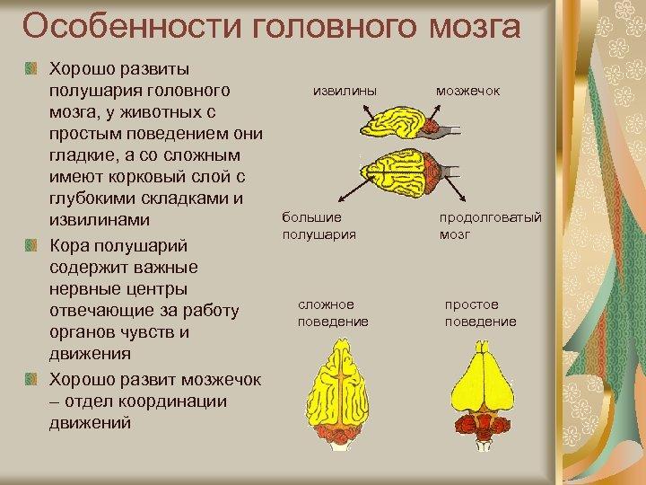 Особенности головного мозга Хорошо развиты полушария головного мозга, у животных с простым поведением они