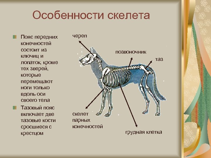 Особенности скелета Пояс передних конечностей состоит из ключиц и лопаток, кроме тех зверей, которые