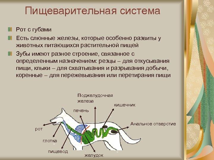 Пищеварительная система Рот с губами Есть слюнные железы, которые особенно развиты у животных питающихся