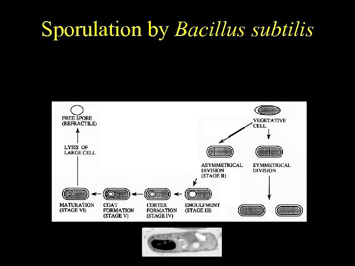 Bacillus subtilis Sporulation by Bacillus subtilis Temporally regulated differentiation