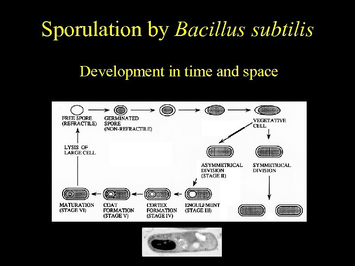 Bacillus subtilis Sporulation by Bacillus subtilis Temporally regulated differentiation Development in time and space