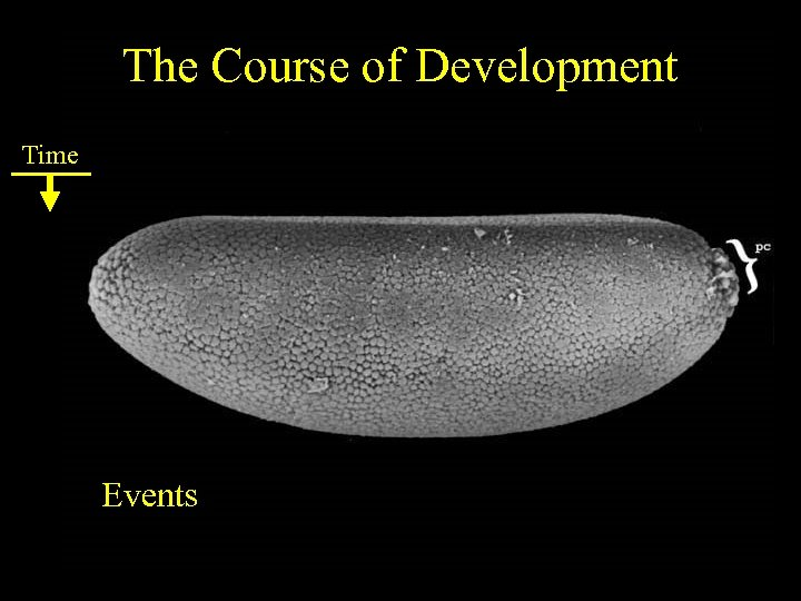 The Course of Development Time Events