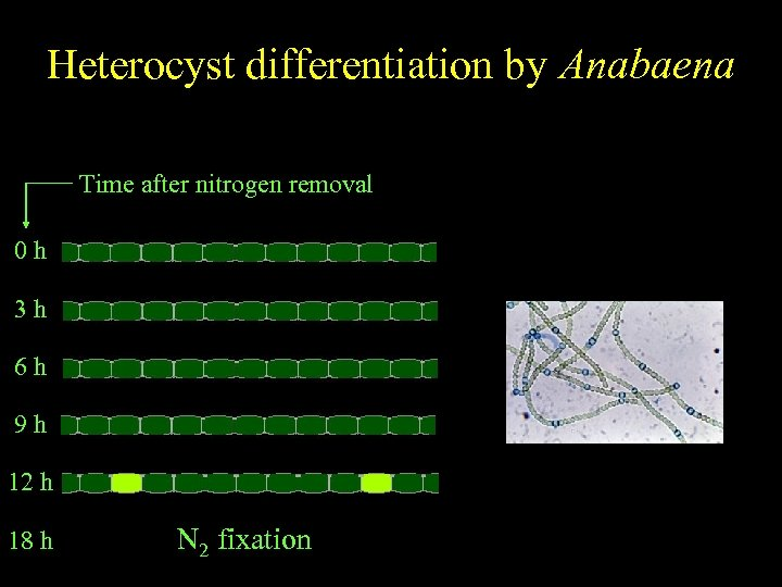 Anabaena Heterocyst differentiation by Anabaena Spatially regulated differentiation Time after nitrogen removal 0 h