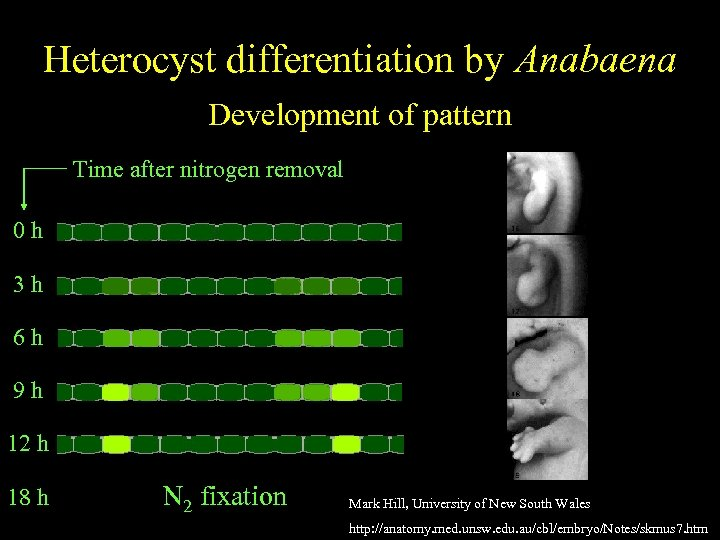 Anabaena Heterocyst differentiation by Anabaena Spatially regulatedof pattern differentiation Development Time after nitrogen removal