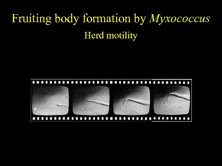 Fruiting body formation by Myxococcus Herd motility