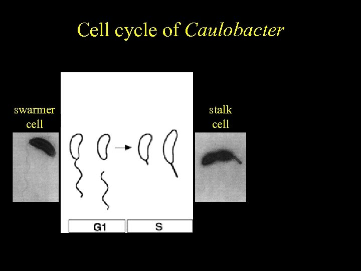 Caulobacter Cell cycle of crescentus Cell cycle-regulated differentiation swarmer cell stalk cell