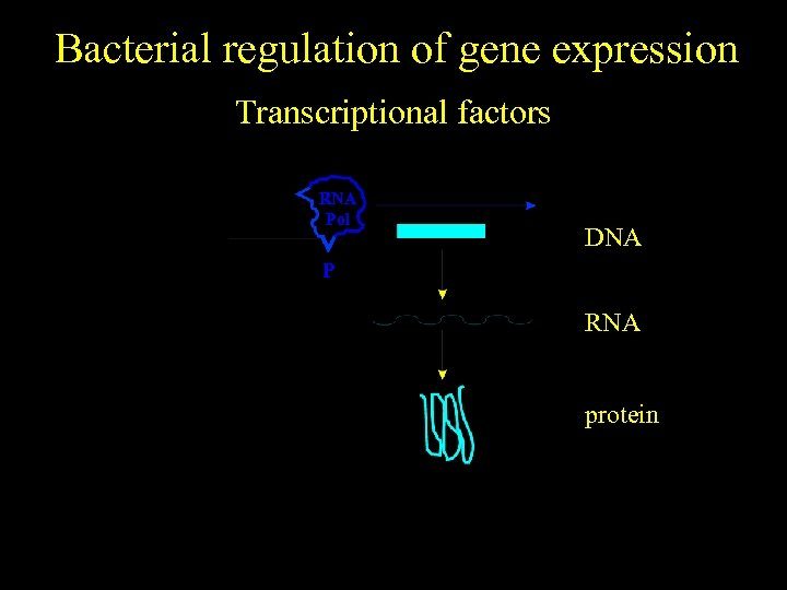 Bacterial regulation of gene expression Transcriptional factors RNA Pol DNA P RNA protein