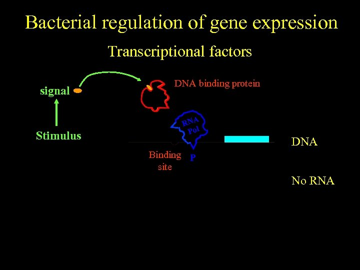 Bacterial regulation of gene expression Transcriptional factors signal No stimulus Stimulus DNA binding protein