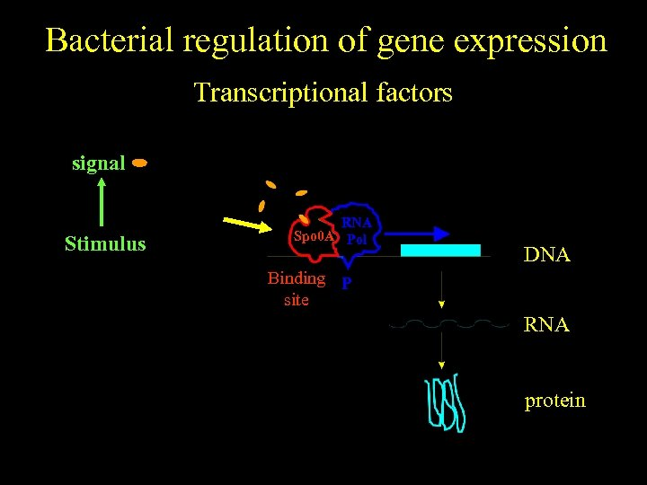 Bacterial regulation of gene expression Transcriptional factors signal No stimulus Stimulus RNA Spo 0