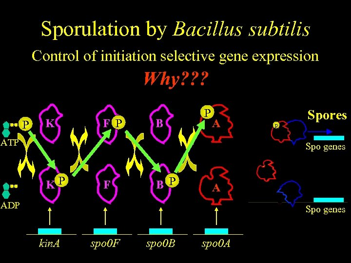 Sporulation by Bacillus subtilis Control of initiation selective gene expression Why? ? ? P