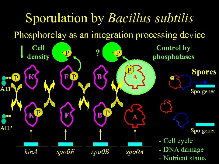 Sporulation by Bacillus subtilis Phosphorelay as an integration processing device Cell density P K
