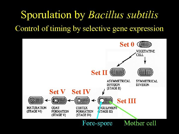 Bacillus subtilis Sporulation by Bacillus subtilis Temporally regulated differentiation Control of timing by selective