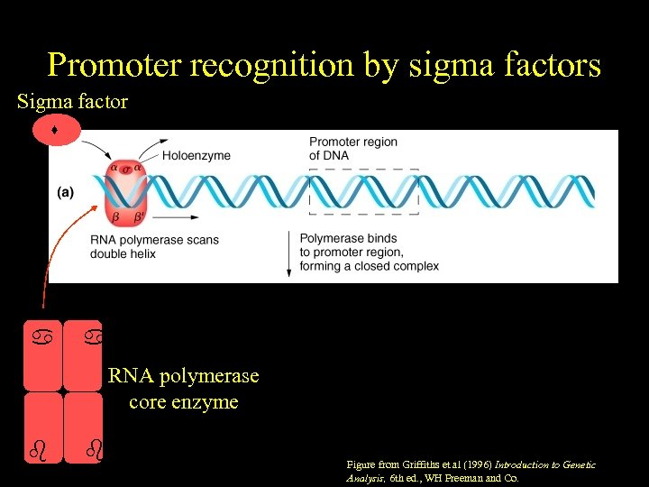 Promoter recognition by sigma factors Sigma factor RNA polymerase core enzyme ' Figure from